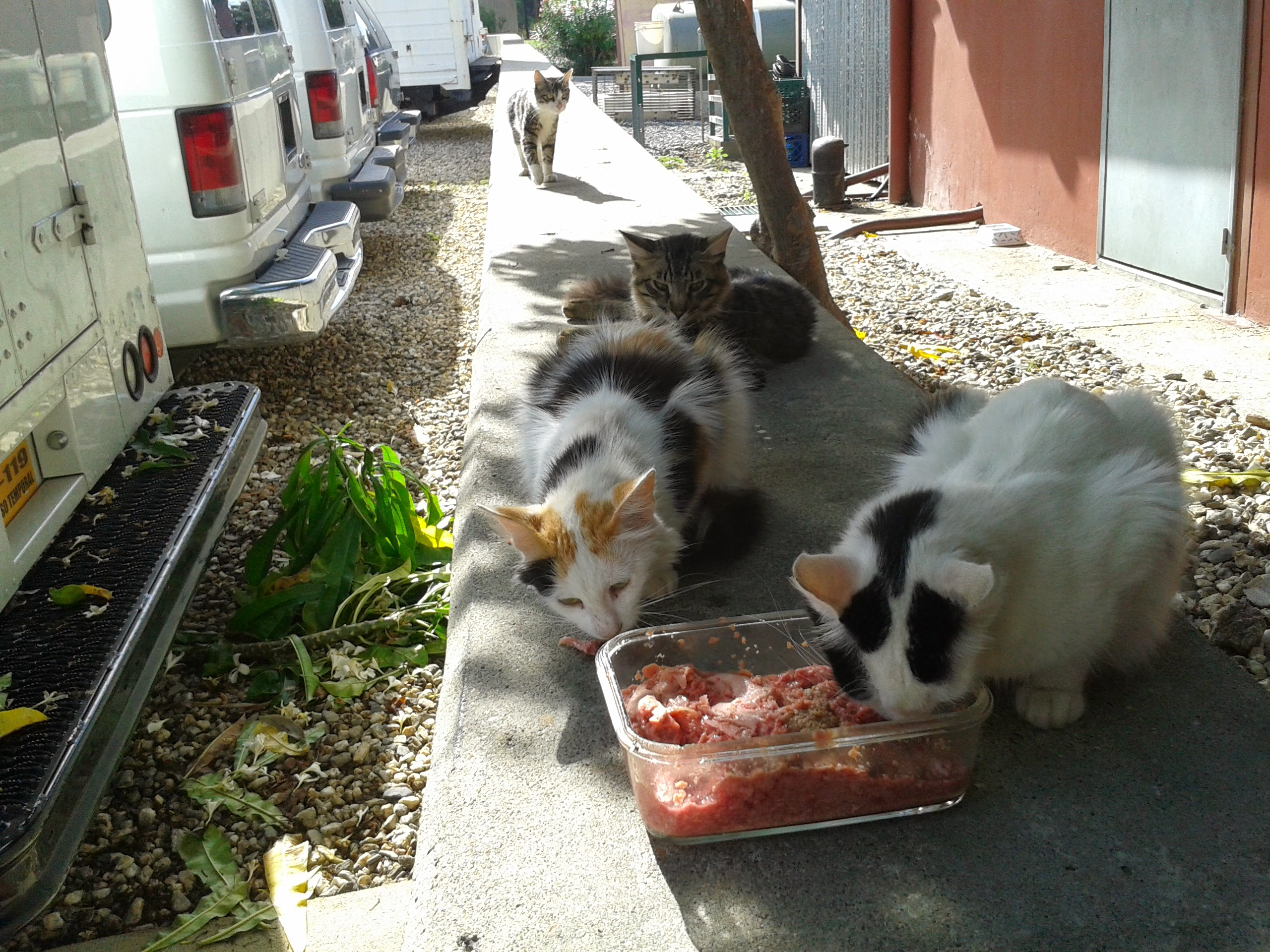 Ferals eating raw food